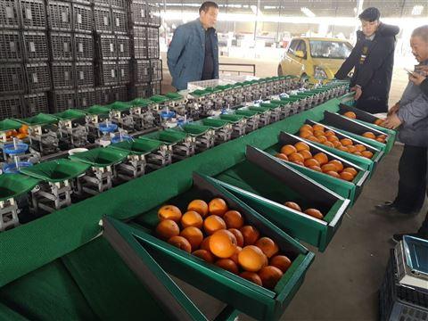 丑蘋果選果機 適合電商用的重量分選機