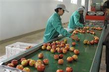 苹果清洗设备水洗苹果打蜡设备专业苹果产后清洗打蜡机
