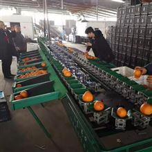 XGJ-SZ茂谷柑分选分级机 沃柑丑橘同样适用
