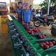 广东小型火龙果选果机 重量分大小很准确