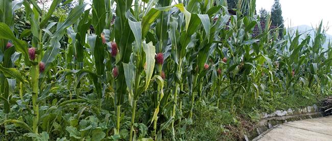 """台风""""利奇马""""对玉米生产影响及灾后恢复技术指导意见"""