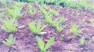 """""""利奇马""""台风过后加强蔬菜生产管理技术指导意见"""