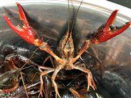 """小龙虾产业总产值已达3690亿元,""""稻虾共生""""了解一下?"""