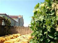 关于组织开展玉米籽粒低破碎机械化收获技术演示示范活动的函