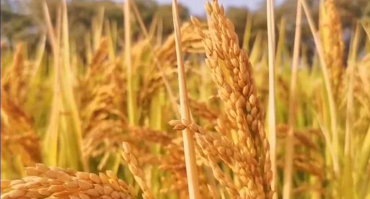 广西印发《水稻精量机械穴直播生产技术规程(试行)》