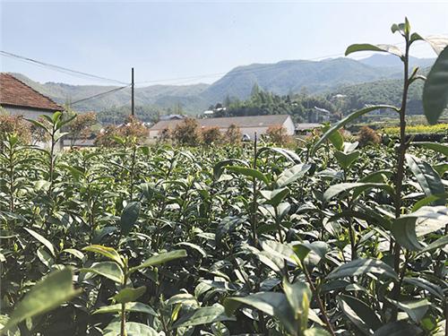 浙江省将茶叶色选机、茶叶输送机等9个品目纳入农机购置补贴范围
